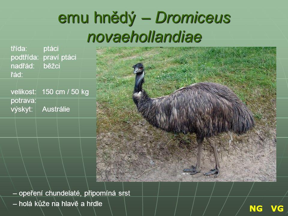 emu hnědý – Dromiceus novaehollandiae