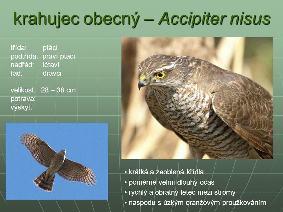 krahujec obecný – Accipiter nisus