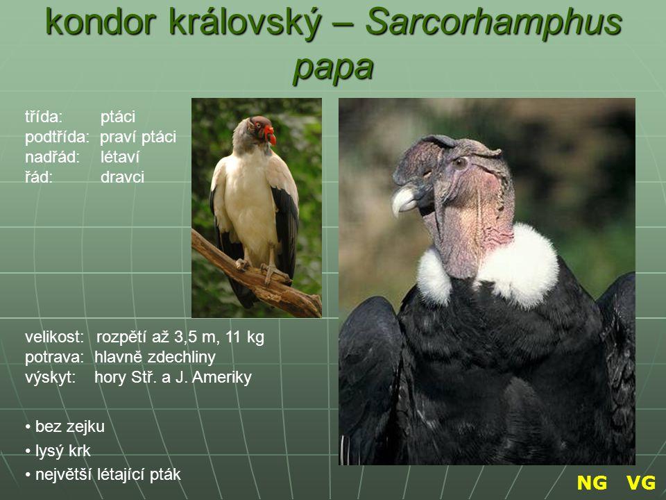 kondor královský – Sarcorhamphus papa