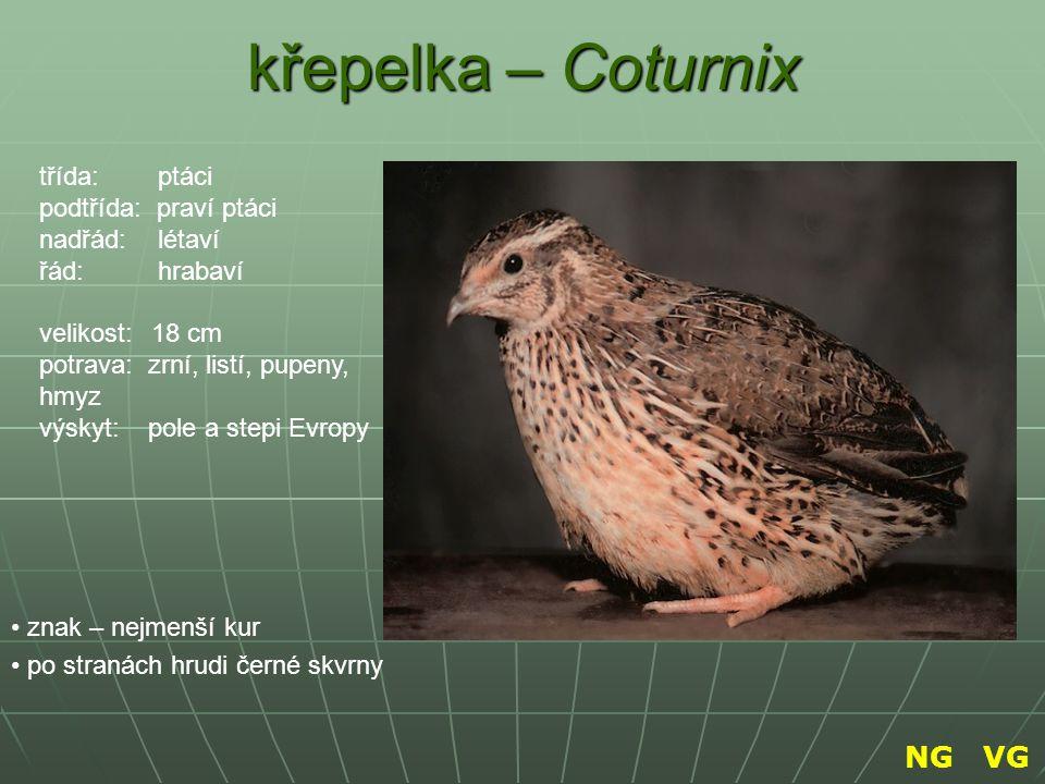 křepelka – Coturnix NG VG třída: ptáci podtřída: praví ptáci