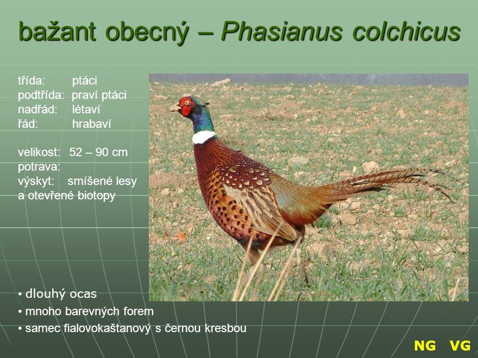 bažant obecný – Phasianus colchicus