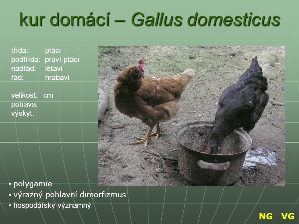 kur domácí – Gallus domesticus