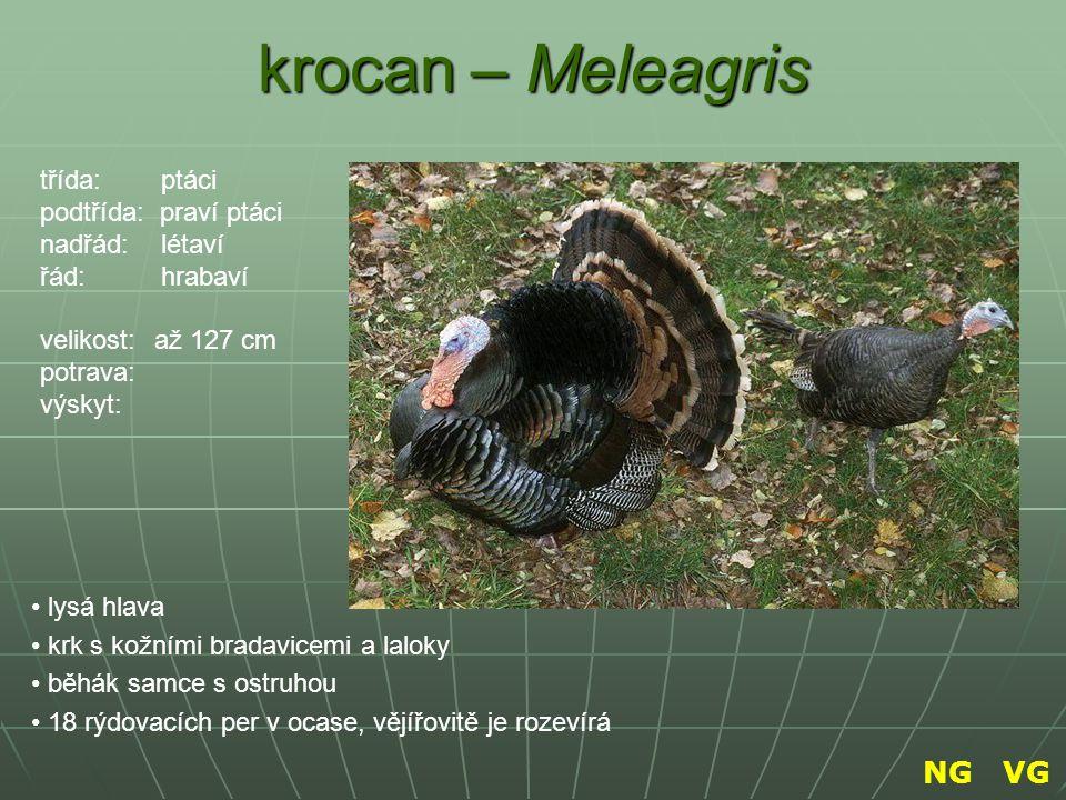 krocan – Meleagris NG VG třída: ptáci podtřída: praví ptáci