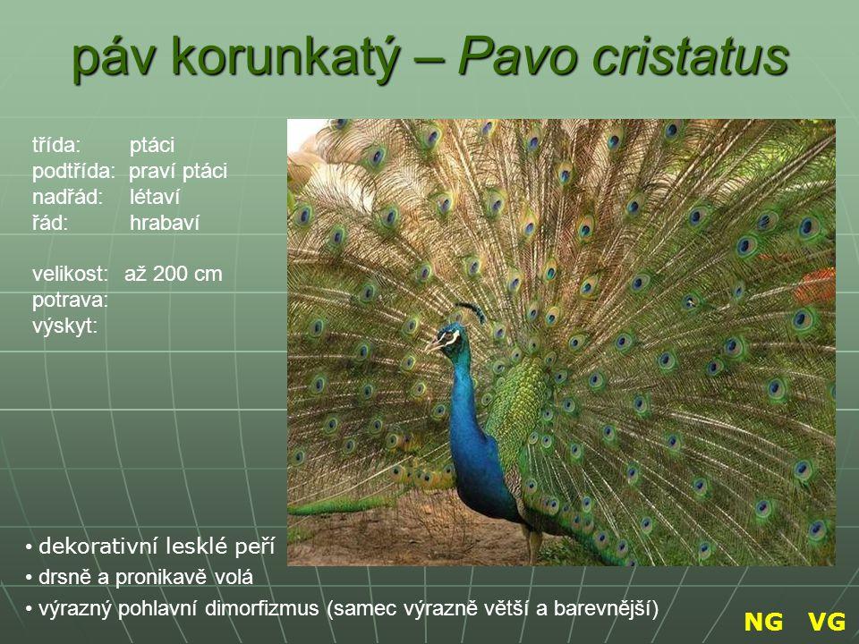 páv korunkatý – Pavo cristatus