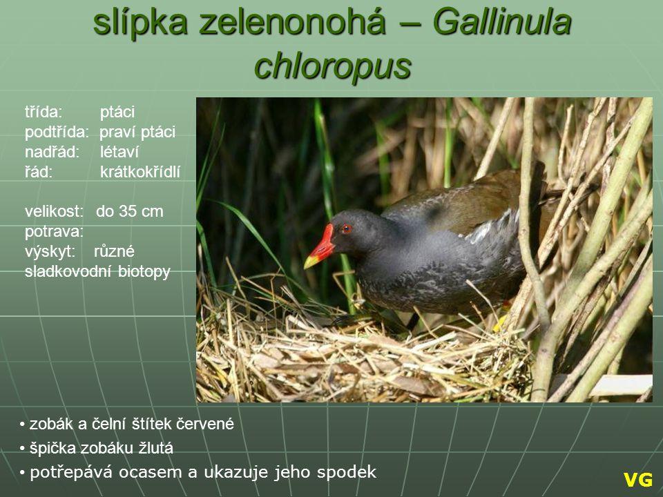 slípka zelenonohá – Gallinula chloropus