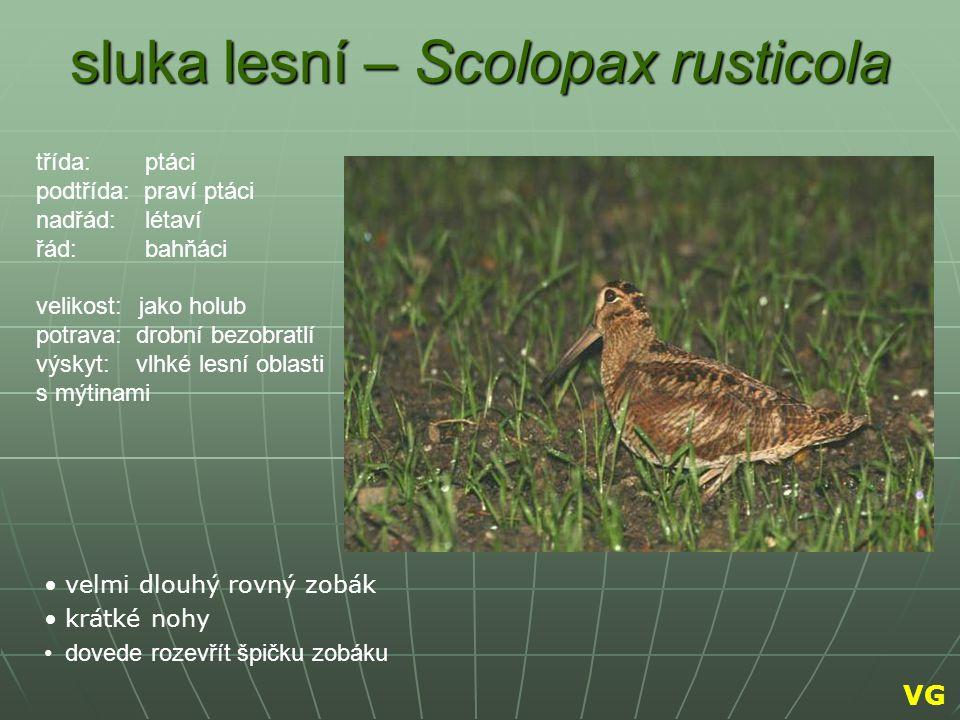 sluka lesní – Scolopax rusticola