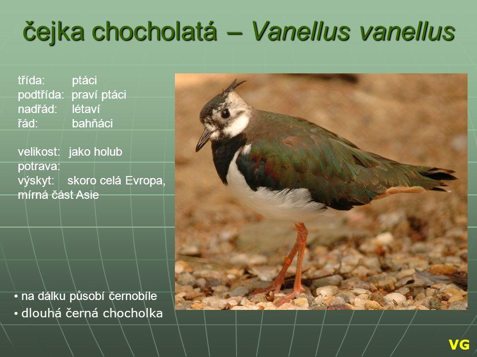 čejka chocholatá – Vanellus vanellus