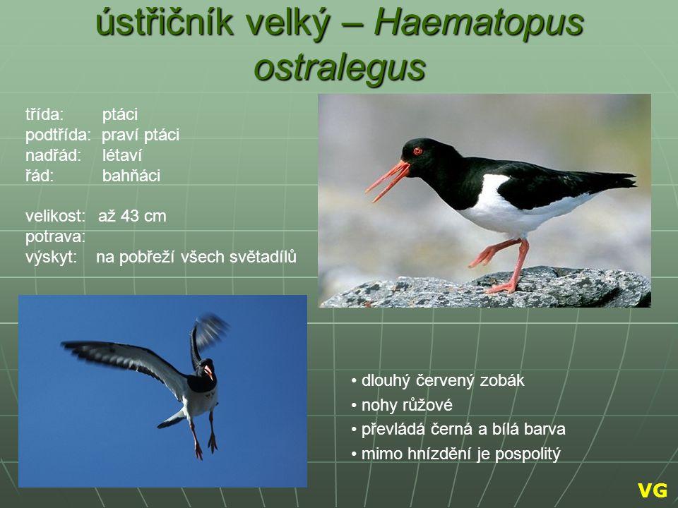 ústřičník velký – Haematopus ostralegus