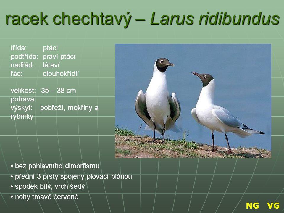 racek chechtavý – Larus ridibundus