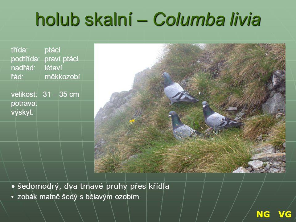 holub skalní – Columba livia