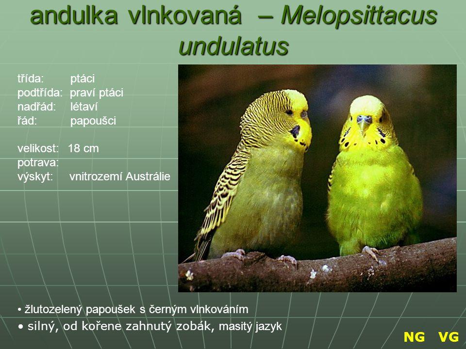 andulka vlnkovaná – Melopsittacus undulatus