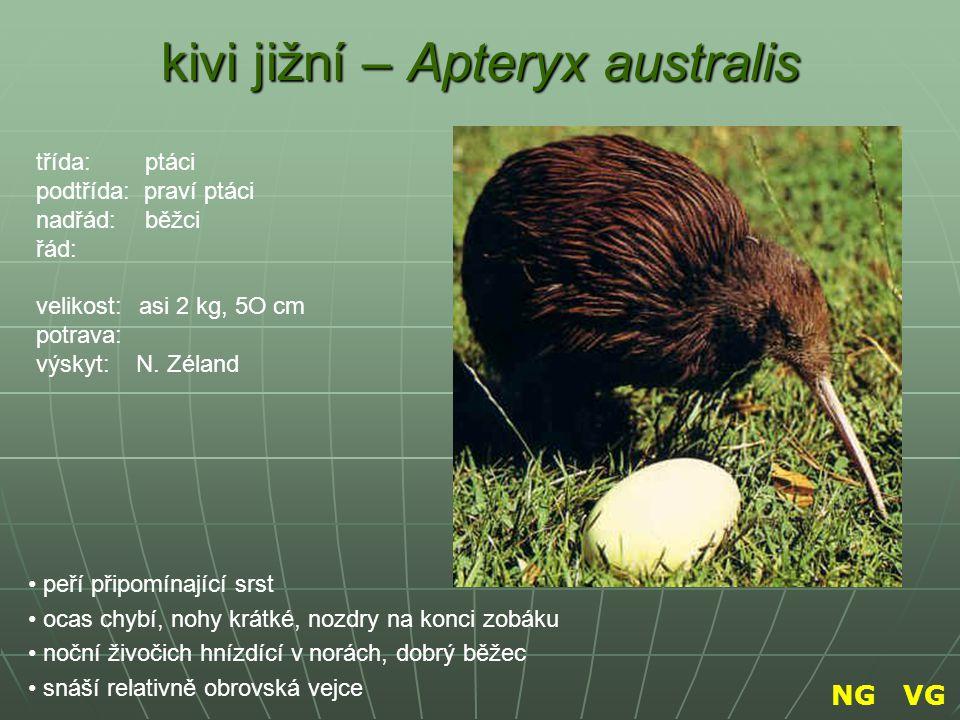 kivi jižní – Apteryx australis