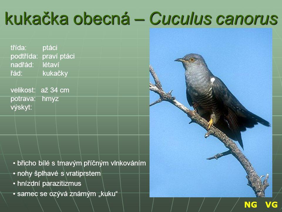 kukačka obecná – Cuculus canorus