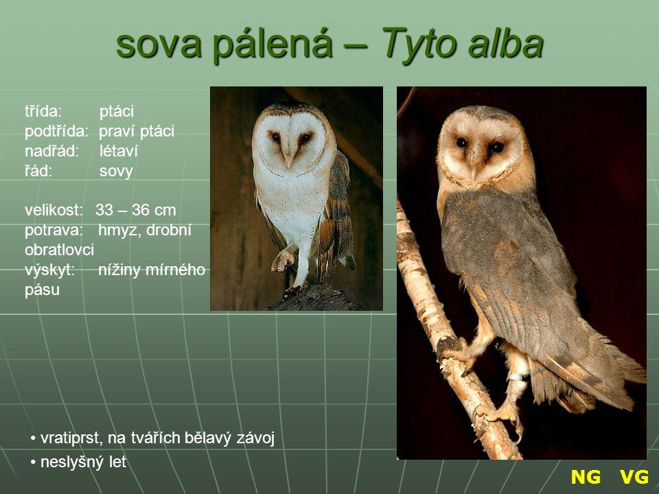 sova pálená – Tyto alba NG VG třída: ptáci podtřída: praví ptáci