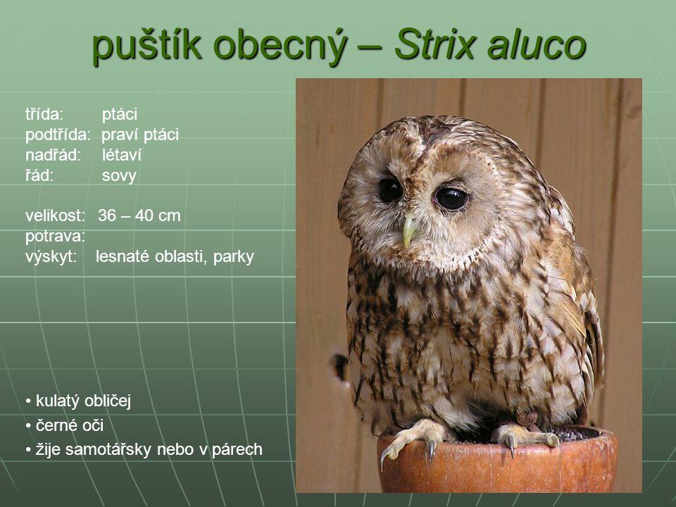 puštík obecný – Strix aluco