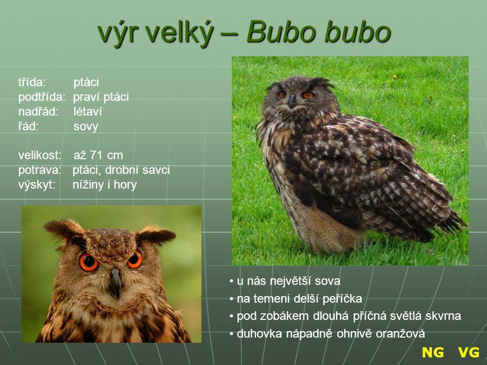 výr velký – Bubo bubo NG VG třída: ptáci podtřída: praví ptáci