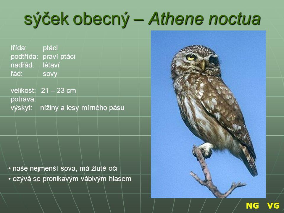 sýček obecný – Athene noctua