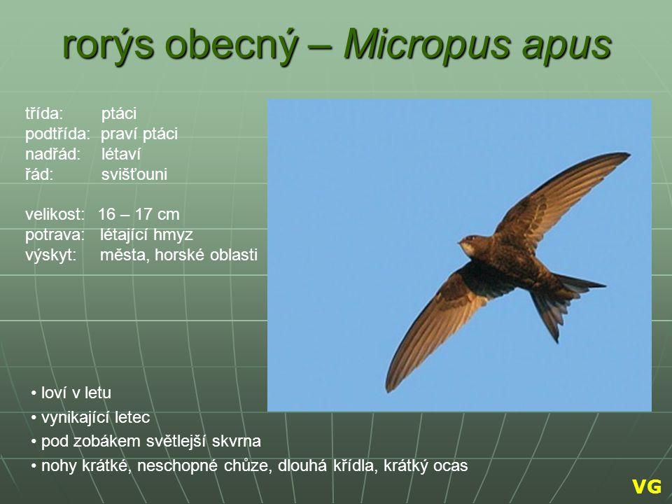rorýs obecný – Micropus apus