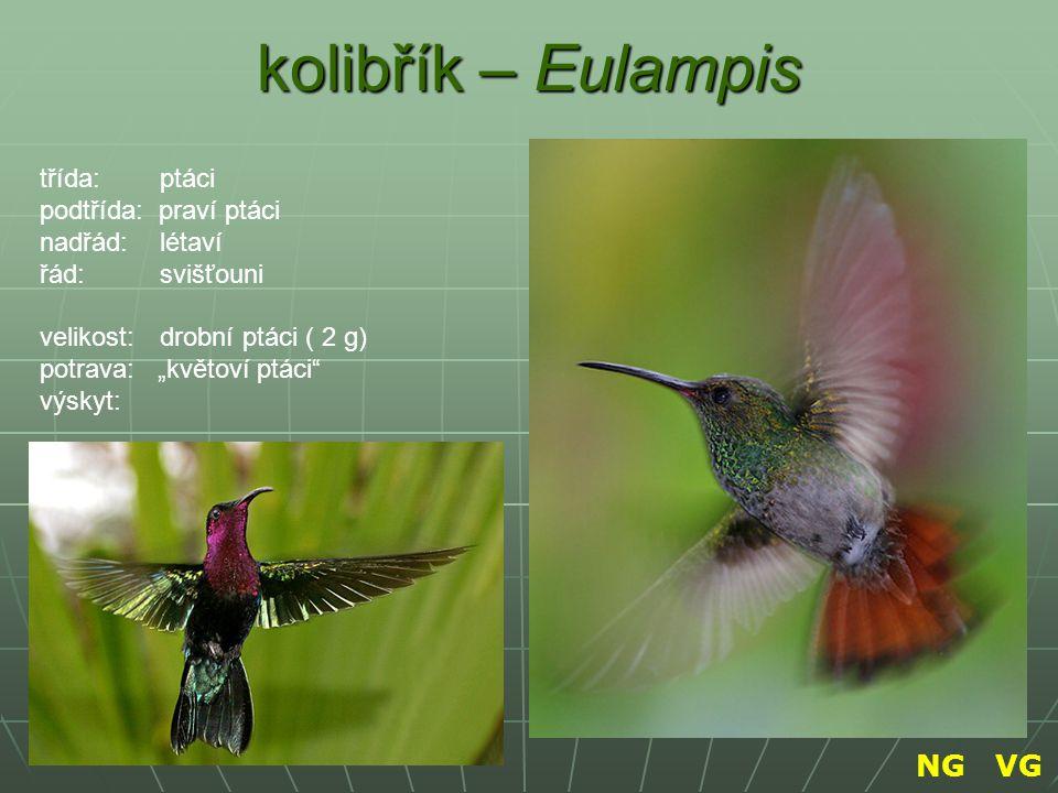 kolibřík – Eulampis NG VG třída: ptáci podtřída: praví ptáci