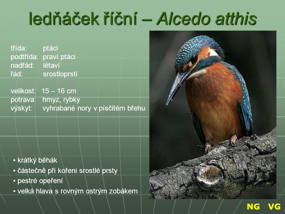 ledňáček říční – Alcedo atthis