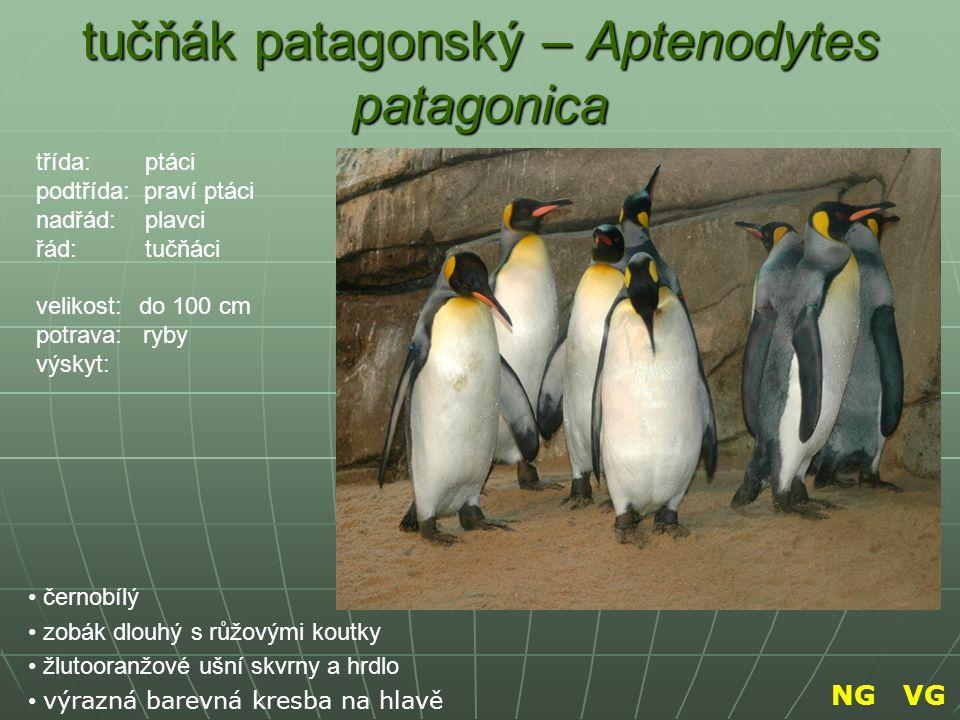 tučňák patagonský – Aptenodytes patagonica