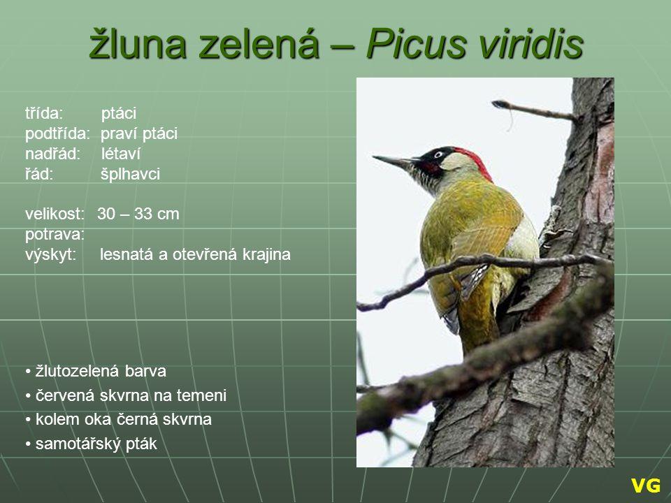 žluna zelená – Picus viridis