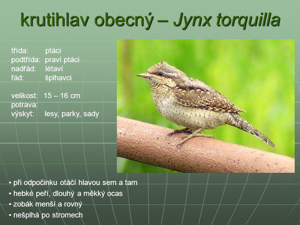 krutihlav obecný – Jynx torquilla