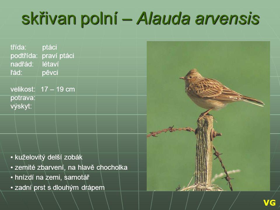 skřivan polní – Alauda arvensis