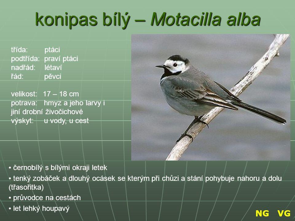 konipas bílý – Motacilla alba
