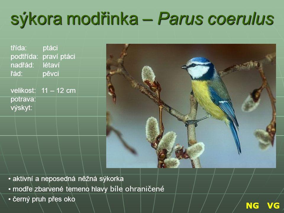 sýkora modřinka – Parus coerulus