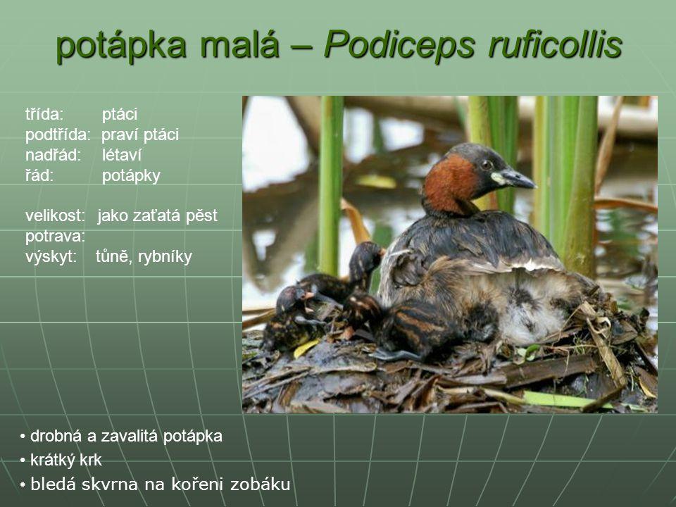 potápka malá – Podiceps ruficollis