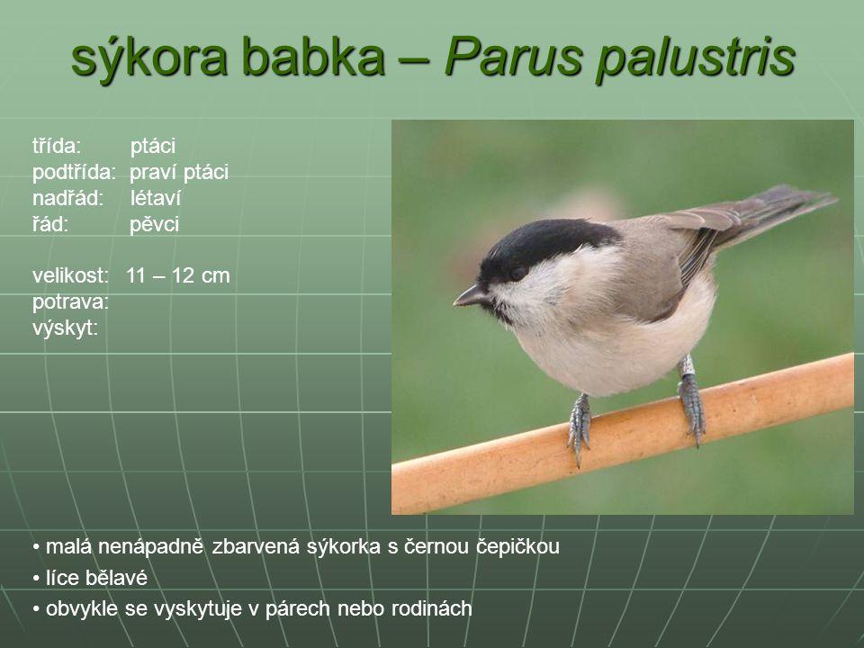 sýkora babka – Parus palustris