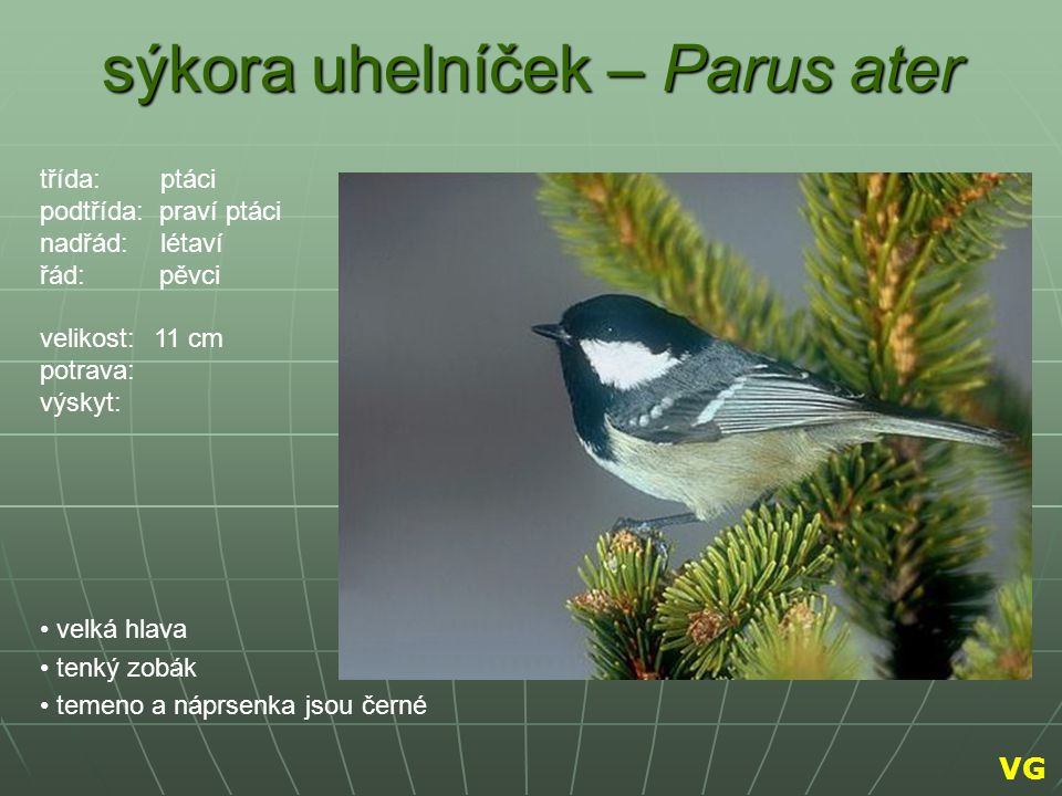 sýkora uhelníček – Parus ater