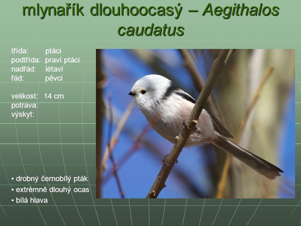 mlynařík dlouhoocasý – Aegithalos caudatus