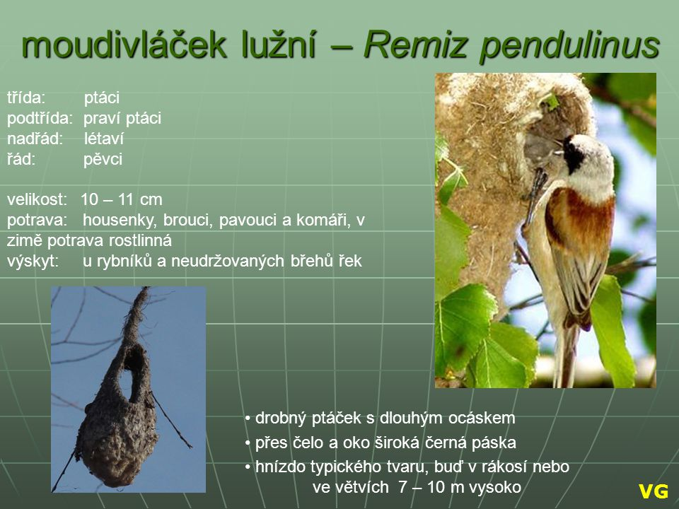 moudivláček lužní – Remiz pendulinus