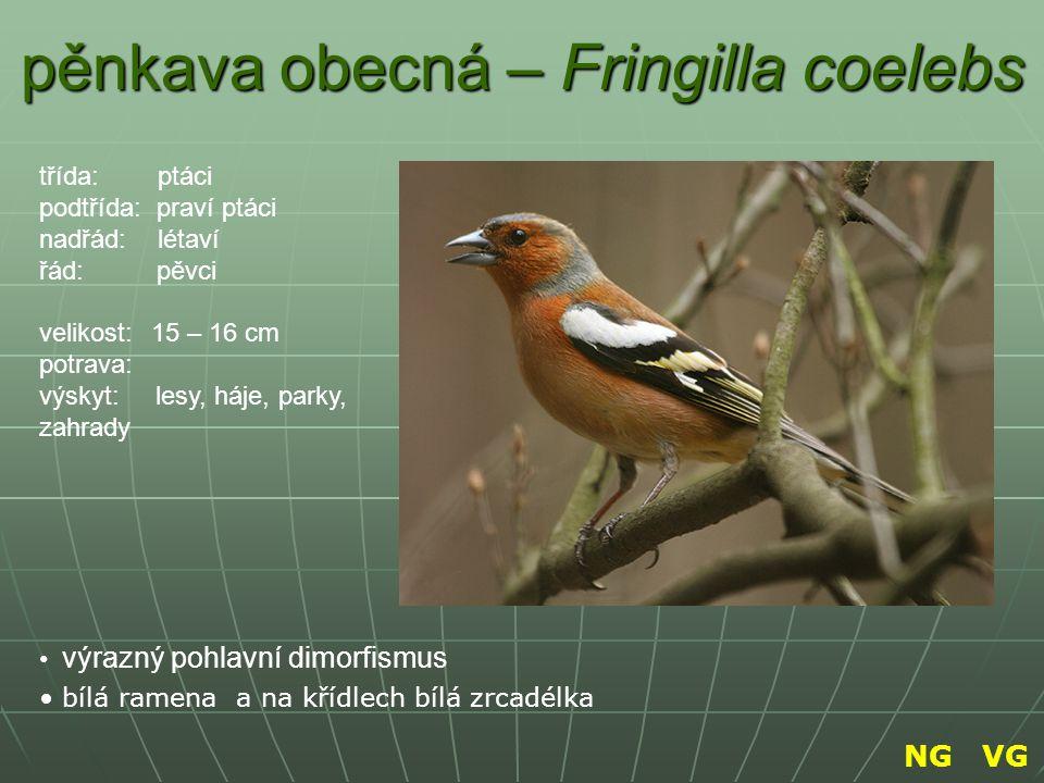 pěnkava obecná – Fringilla coelebs