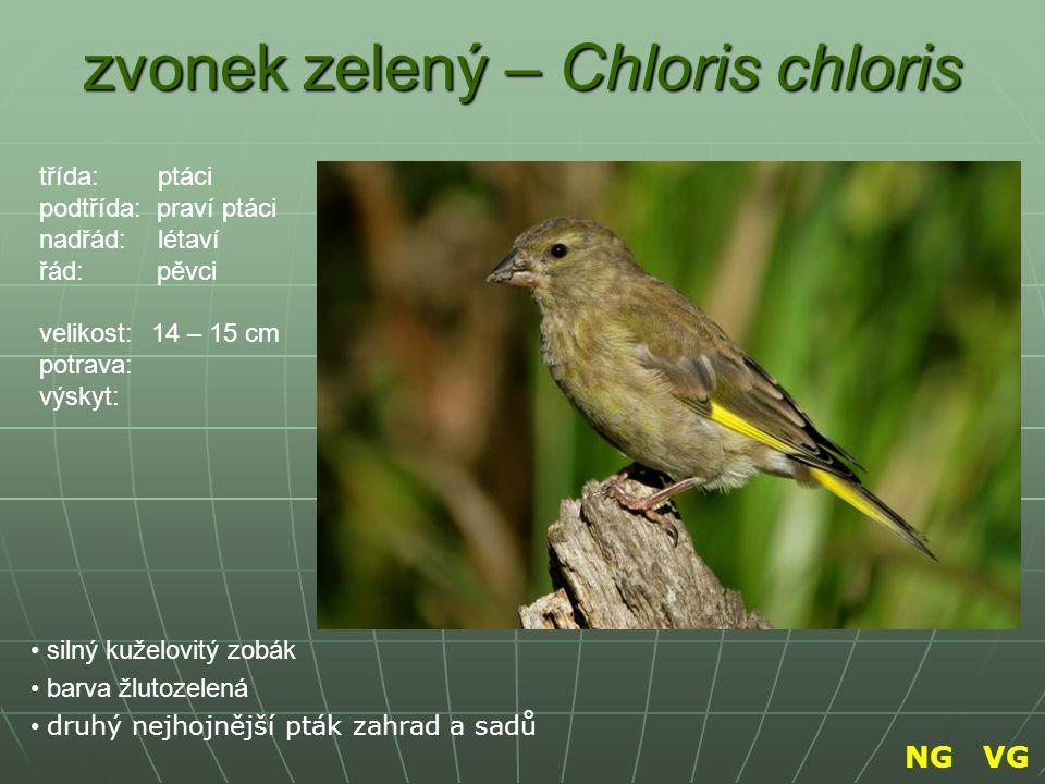 zvonek zelený – Chloris chloris