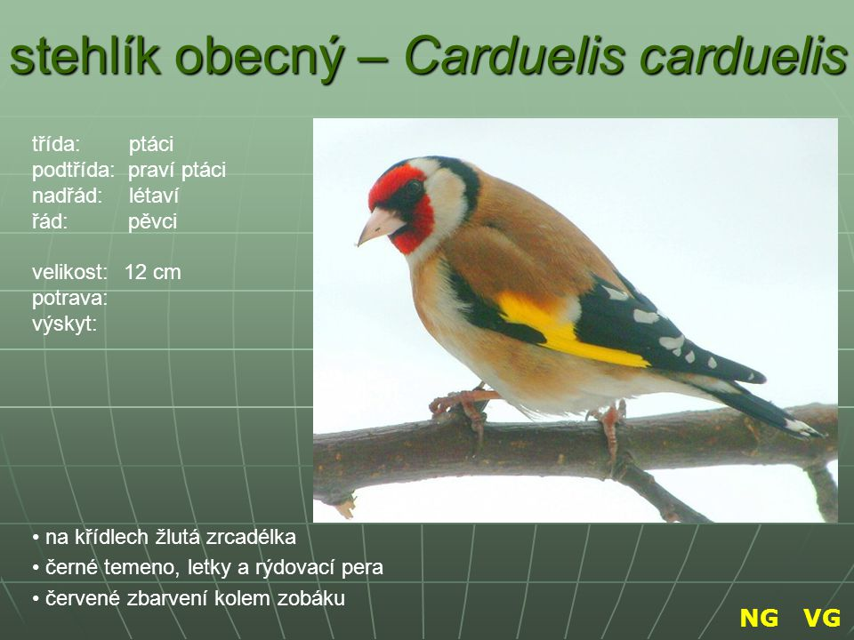 stehlík obecný – Carduelis carduelis