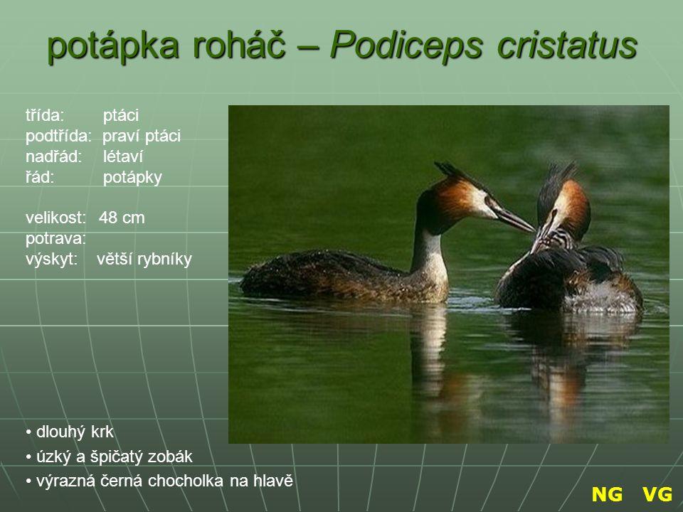 potápka roháč – Podiceps cristatus