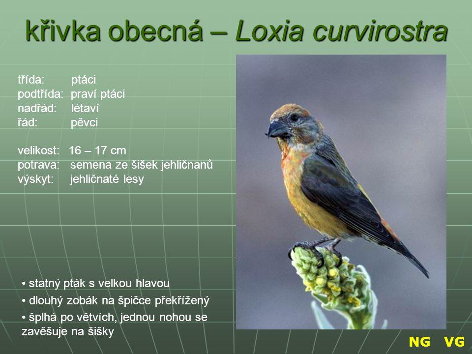 křivka obecná – Loxia curvirostra