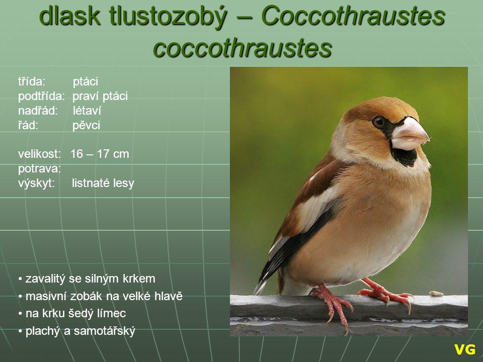 dlask tlustozobý – Coccothraustes coccothraustes