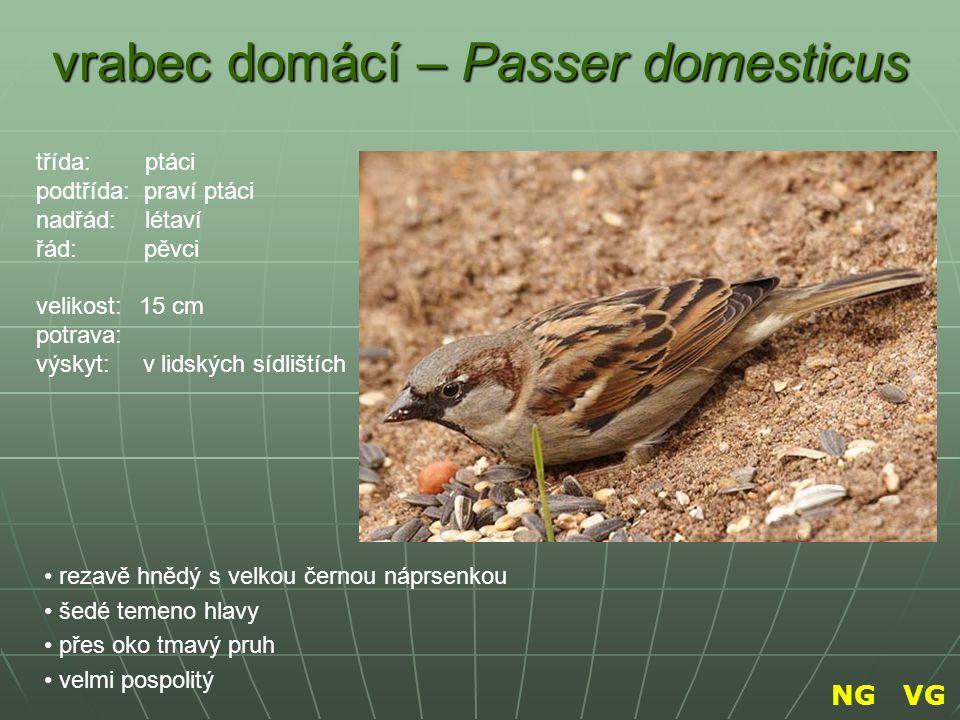 vrabec domácí – Passer domesticus