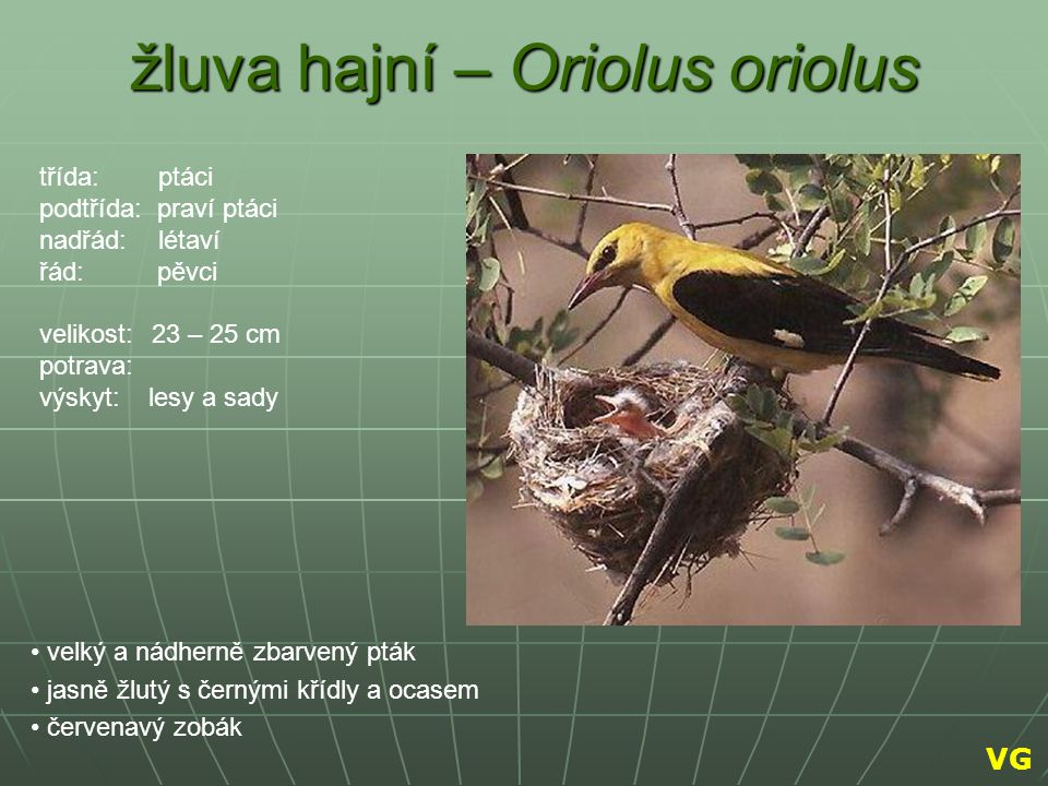 žluva hajní – Oriolus oriolus