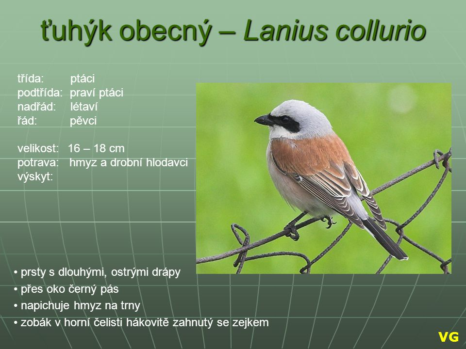 ťuhýk obecný – Lanius collurio