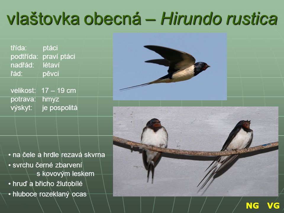 vlaštovka obecná – Hirundo rustica