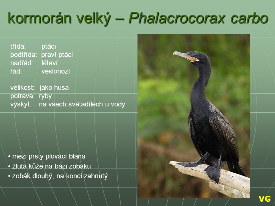 kormorán velký – Phalacrocorax carbo