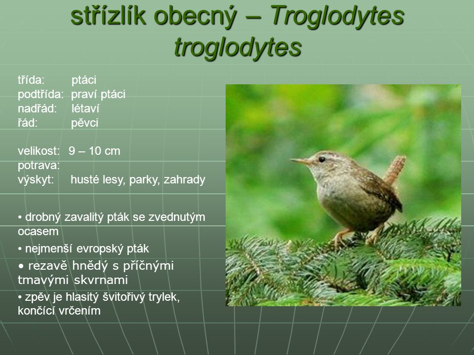 střízlík obecný – Troglodytes troglodytes