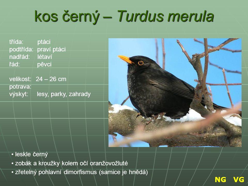 kos černý – Turdus merula