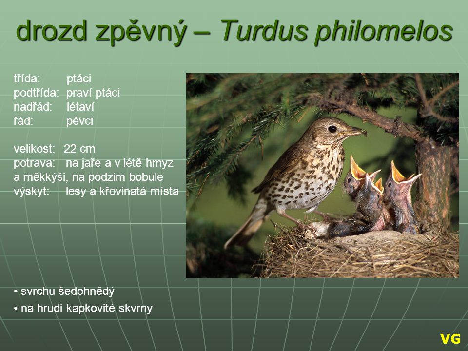 drozd zpěvný – Turdus philomelos