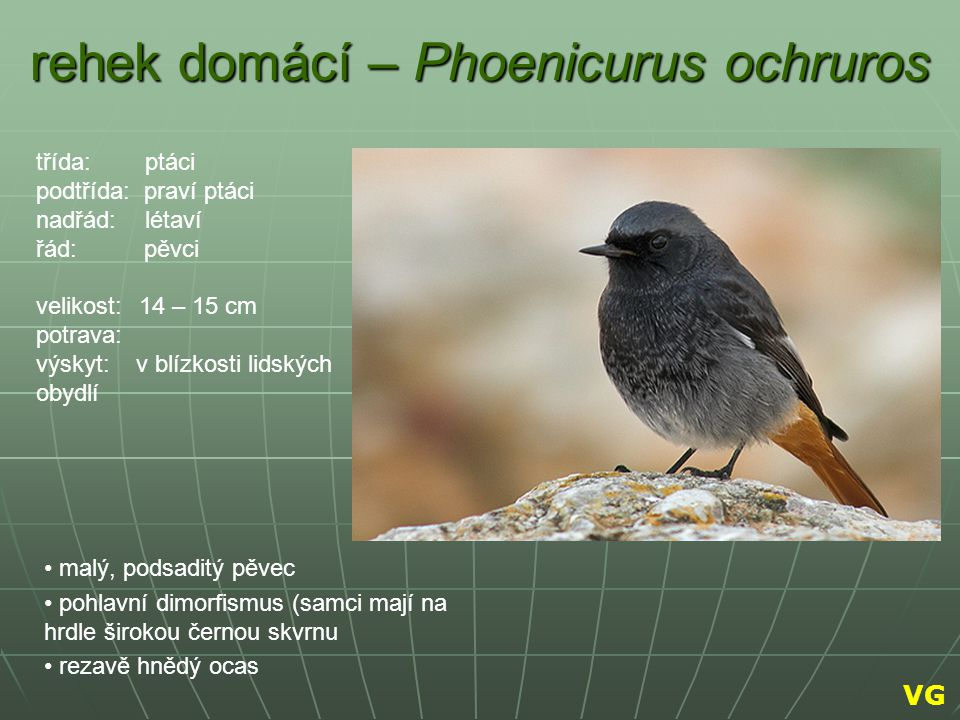 rehek domácí – Phoenicurus ochruros